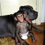 Χιμπατζής για φίλημα! Θα σας ξετρελάνει ο μικρός μαιμουδίτσος