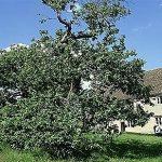 Η περίφημη μηλιά του Νεύτωνα θα αποκτήσει απογόνους