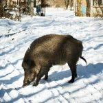 Ραδιενεργά αγριογούρουνα λόγω Τσερνόμπιλ στην Ευρώπη