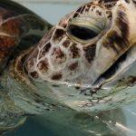 Θαλάσσια χελώνα κατάπιε 915 νομίσματα σε λίμνη
